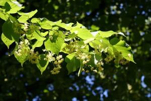 kwiat lipy drzewo
